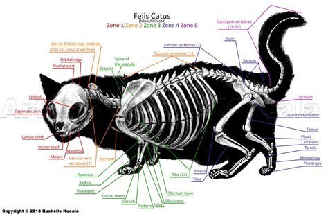 cat skeleton diagram munchkin cat skeleton anatomy by thedragonofdoom on deviantart