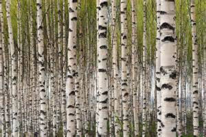 birch tree wall mural grove of birch trees wall mural nature wall mural
