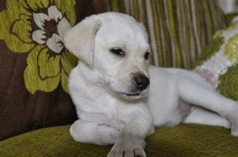 golden retriever puppies available now golden retriever puppies available now for adoption breeds picture