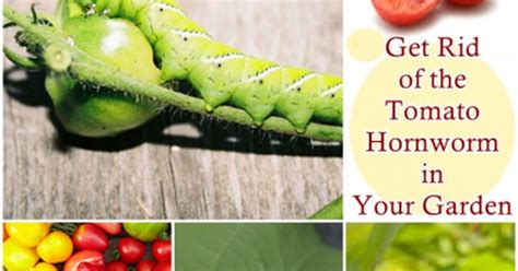 the homestead survival get rid of the tomato hornworm in your garden http