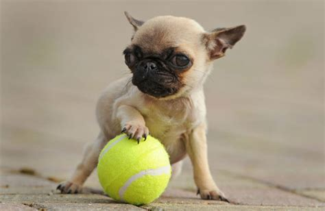 pip the pug image gallery smallest pug