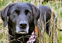 is melatonin safe for dogs how to exercise your labrador