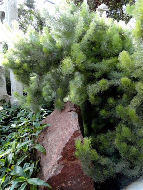 adenanthos woolly bush   plants garden