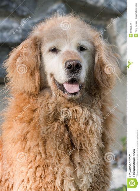 curly golden retriever curly golden retriever stock photography image 33097572