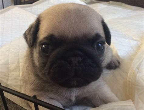 pugs for sale in maidstone kc reg pug pups for sale maidstone kent pets4homes