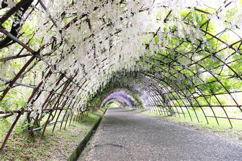 kawachi fuji gardens wisteria tunnel kawachi fuji garden kitakyushu