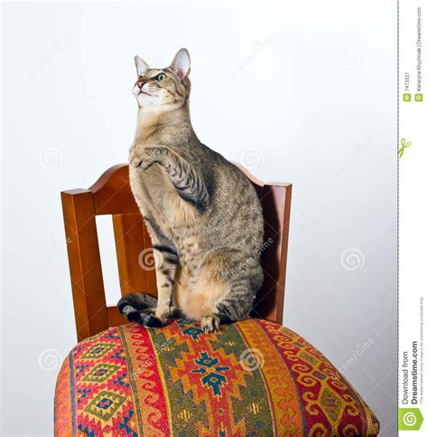 Cat On The Chair by Oriental Cat Sitting On Chair Royalty Free Stock