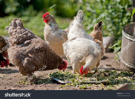 chickens pecking grain on poultry yard stock photo