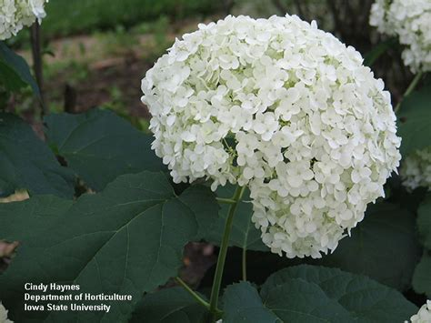 pruning hydrangeas horticulture and home pest news