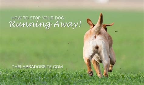 how to a to stop running away dogs running away how to stop them the labrador site