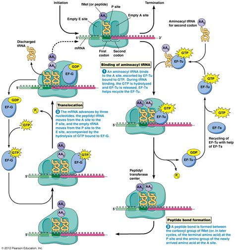 protein synthesis steps protein synthesis translation steps www pixshark