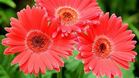 fiore gerbera gerbera il fiore per ogni occasione di lifestyle