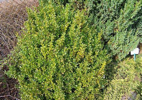 buchsbaum wann schneiden buchsbaum schneiden wann buchsbaum schneiden wann bild