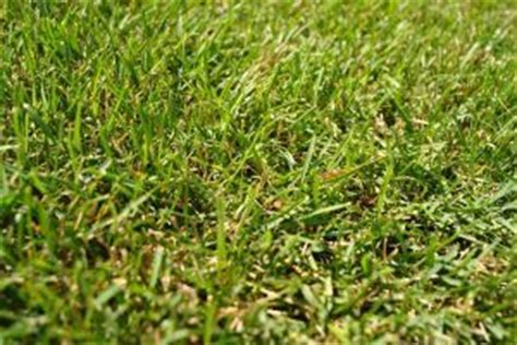 killing crabgrass with baking soda 15 best images about crab grass killers on the