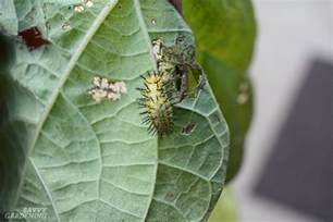 vegetable garden pest guide to vegetable garden pests identification and