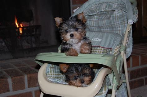 i want a yorkie 158 best images about cutest yorkies on puppys haircuts and yorkie