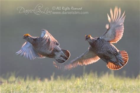 quail bird flying | www.pixshark.com images galleries