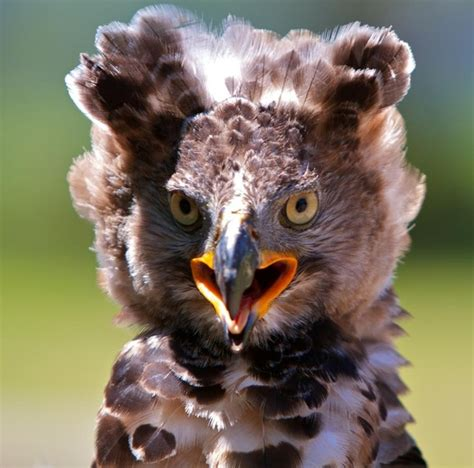 african crowned eagle different types of eagles pinterest