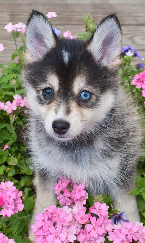 pup website pictures of pomsky puppies breeds picture