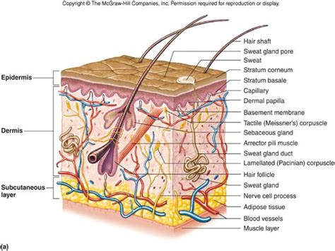 structure of the skin diagram labeled objectives
