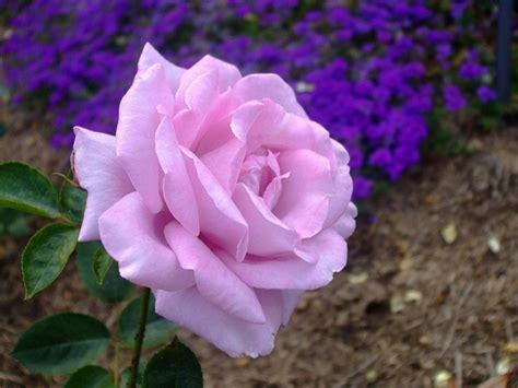 wallpaper bunga mawar ungu 20 gambar bunga mawar indah ini pasti akan menghipnotismu