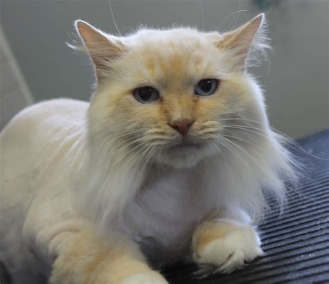 haircut for long hair cat image gallery haircuts long haired cats