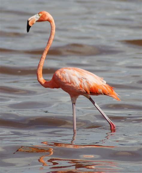 Bfs Big Flamingo 1054 best images about bonaire on
