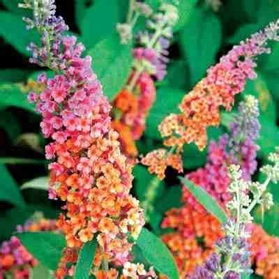 multi colored butterfly bush bi color butterfly bush direct gardening
