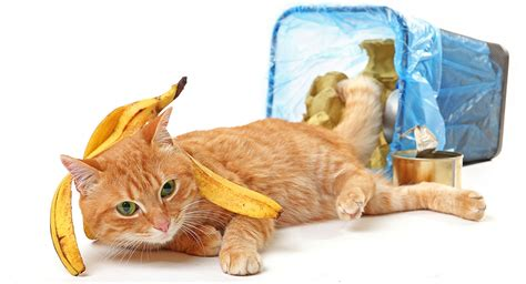 can eat banana can cats eat bananas safely are they a treat