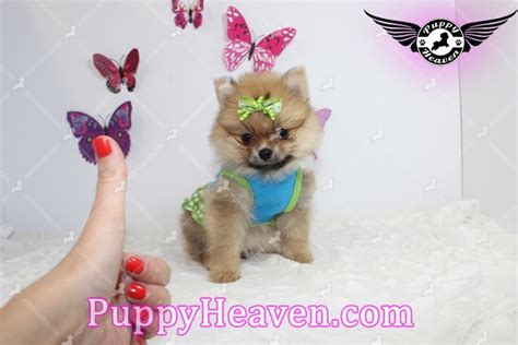 pomeranian puppies for sale in las vegas pomeranian puppy for sale in las vegas breeds picture