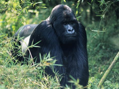 Gorilla-Endangered animals list-Our endangered animals ...