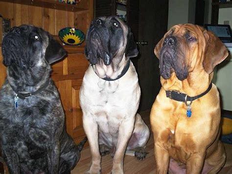 mastiff colors mastiff mastiff breed information and