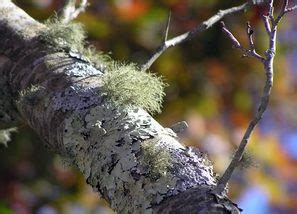 spanish moss lichens slime molds home garden