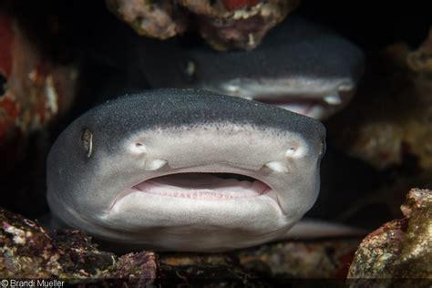 baby shark bahasa indonesia an underwater photographer s guide to komodo national park