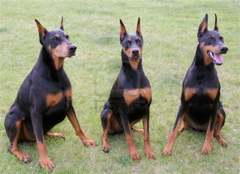 doberman pinscher doberman pinscher dogs photo and wallpaper beautiful doberman pinscher dogs