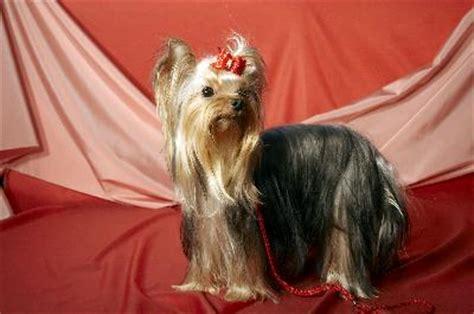 yorkies behavior behavior patterns of terriers pets