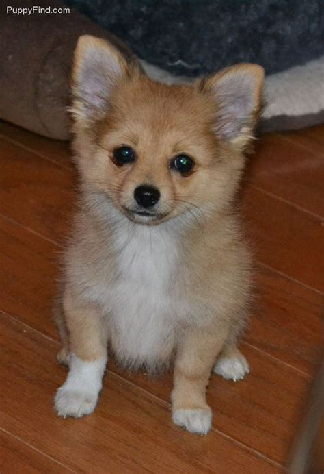 chipom puppies dogs pomeranian teacup puppies and car photos