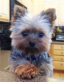 how to cut a yorkie s hair at home yorkie haircuts yorkshire terrier cuts and hairstyles