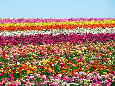 Flower Garden San Diego Carlsbad Flower Fields Near San Diego Flower Power