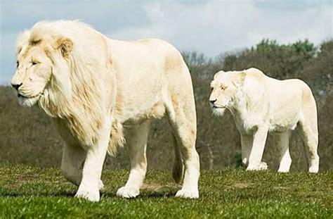 imagenes leon blanco fotos felinos deciam
