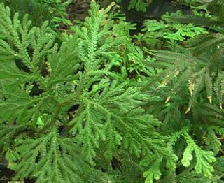 Pupuk Hatake Untuk Padi berbagi informasi tumbuhan paku