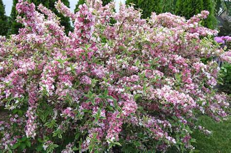 top 10 flowering shrubs flowering bushes birds blooms - Top Flowering Shrubs