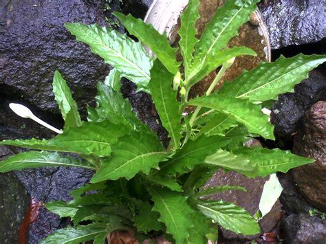 manfaat  khasiat daun tempuyung  kesehatan
