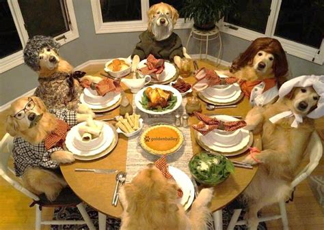 golden retriever turkey these dogs celebrating thanksgiving will leave you feeling warm and cuddly huffpost