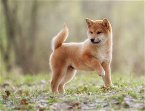 shiba inu mix puppies what is a husky inu shiba inu husky mix my shiba inu