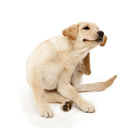 pruritus in dogs how itchy is your really skinvet