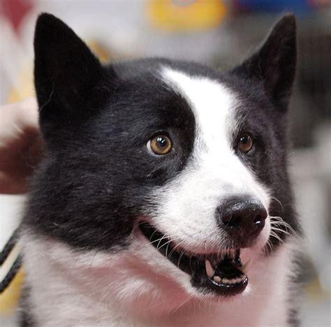 karelian puppy karelian not in the housenot in the house
