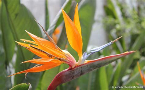 bird paradise flower bird of paradise flower pictures crane flower pictures