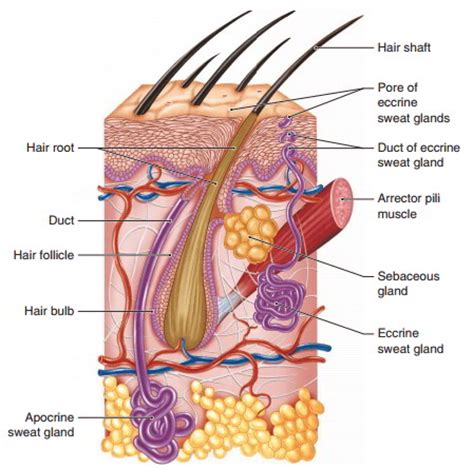 epidermis and accessory structure formed by the epidermis