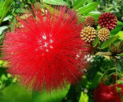 P Trumpet Merah 1000 images about tanaman hias bunga on mophead hydrangea vines and trumpet